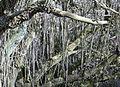 Sambucus nigra (Elder) with detail of extreme shoot growth, Irvine, Scotland.jpg