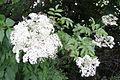 Sambucus nigra ssp canadensis 2100034.jpg