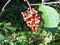 Sambucus racemosa 02.JPG