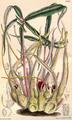 Sauromatum brevipes CBM.png