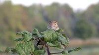 File:Savannah sparrow (Passerculus sandwichensis).webm