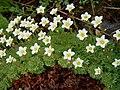 Saxifraga decipiens White V08 H3990.jpg