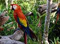 Scarlet Macaw (Ara macao) -Coco Reef -Mexico-6.jpg
