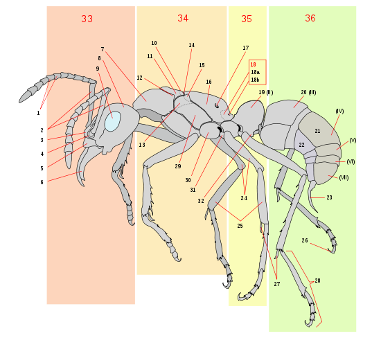 Scheme ant worker anatomy-numbered.svg
