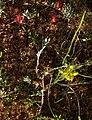 Scheuchzeria palustris.jpg
