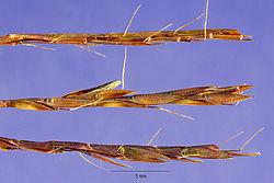 Schizachyrium tenerum.jpg