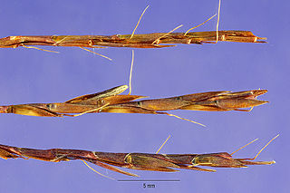 <i>Schizachyrium</i> Genus of grasses