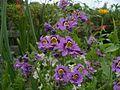 Schizanthus pinnatus 01.jpg