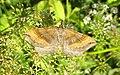 Scotopteryx chenopodiata Пяденица линейчатая желто-бурая.jpg