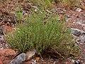 Scutellaria potosina - Flickr - aspidoscelis.jpg