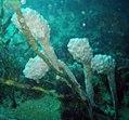 Sea-tulip.jpg