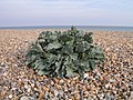 Sea Kale, West Worthing Beach - geograph.org.uk - 238782.jpg