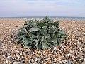 Sea Kale, West Worthing Beach - geograph.org.uk - 238782.jpg