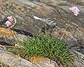 Sea Thrift (Armeria maritima) - Nesodden, Norway 2020-09-20 (04).jpg