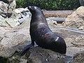 Sea lion HKOP 2009.jpg