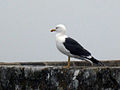 Seagull MSM.JPG