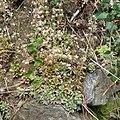 Sedum cepaea plant (31).jpg