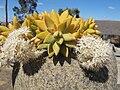 Sedum nussbaumerianum Madagascar07.jpg