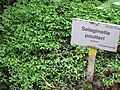 Selaginella poulteri - Berlin Botanical Garden - IMG 8678.JPG