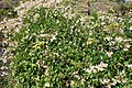Senecio angulatus kz3.jpg