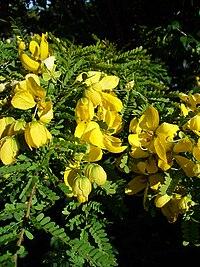 S. polyphylla