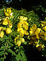 Senna polyphylla.jpg