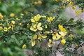Senna polyphylla 36zz.jpg