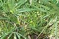 Serenoa repens 15zz.jpg