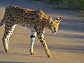 Serval (Leptailurus serval) (14034520905).jpg