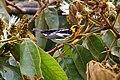 Setophaga fusca Monteverde 10.jpg