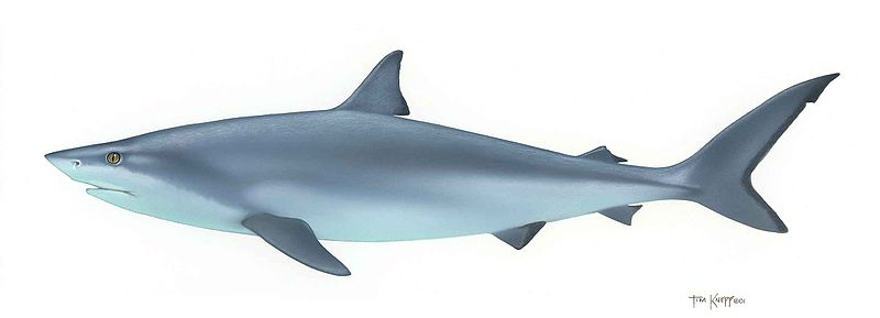 File:Shark fish chondrichthyes.jpg