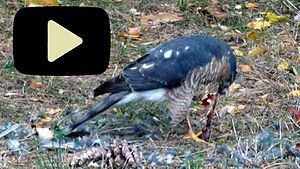 Sharp-shinned hawk - Click for animation of feeding sharp-shinned hawk