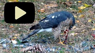 Sharp-shinned hawk - Click for animation of feeding sharp-shinned hawk