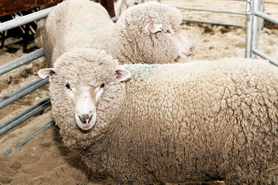 Sheep - melbourne show 2005