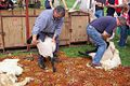 Sheep Shearing.jpg