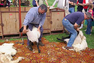 Monmouthshire Show - Sheep shearing at the showground