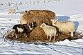 Sheep feeding on silage in the snow, Baltasound - geograph.org.uk - 1725708.jpg