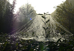 Sheet weaver spider web.jpg