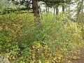 Shepherdia canadensis (7996244569).jpg