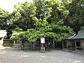 "Shimboku ""Nara"" of Munakata Grand Shrine (Hetsu Shrine) 3.jpg"