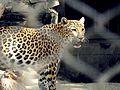 Shiny leopard.jpg