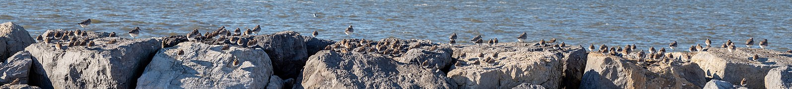 Shorebirds at Jones Beach (04113p).jpg