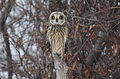 Short-eared Owl (Asio flammeus) (16059341529).jpg