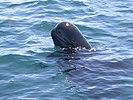Short-finned Pilot Whale (Globicephala macrorhynchus) (8604841637).jpg