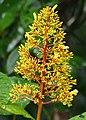 Showy Cappel (Palicourea guianensis) (28149010119).jpg