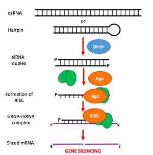 Small interfering RNA - siRNA Mechanism