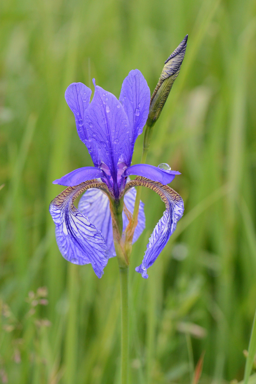 Blue Bird Names >> Iris sibirica - Wikipedia