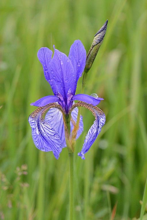 Sibirische Schwertlilie, Iris sibirica 06