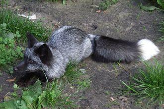 Серебристо-чёрная лисица (Чернобурка)