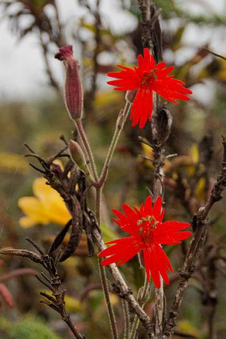 Silene laciniata - Silene laciniata, Elfin Forest Natural Area, California